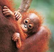 borneo_baby_orang.jpg