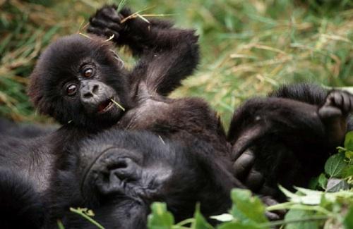 gorilla-photo-1
